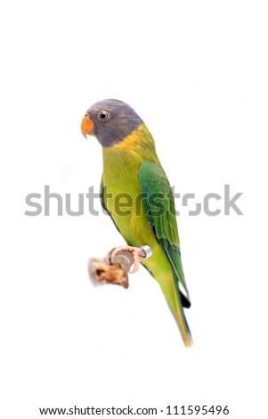 Female of plum-headed parakeet (Psittacula cyanocephala) isolated on white - stock photo