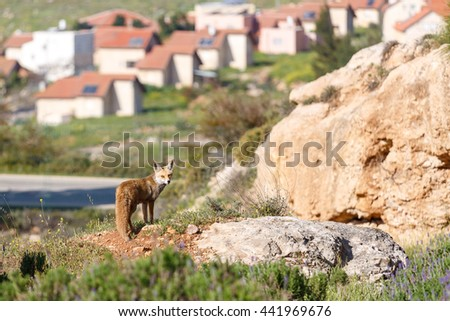 Female of red fox is standing front of small settlement - stock photo