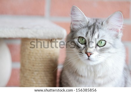 female of siberian cat, version silver