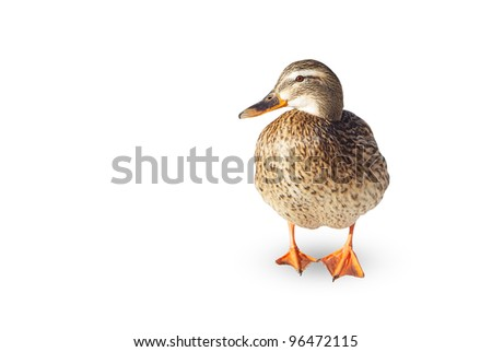Female of wild duck on a white background. - stock photo