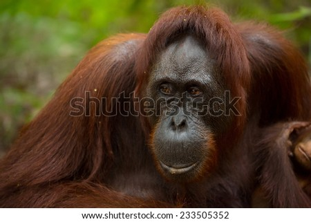 Female Orangutan in south Borneo Indonesia. - stock photo