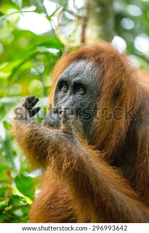 Female orangutan portrait in Gunung Leuser National Park, Sumatra, Indonesia - stock photo