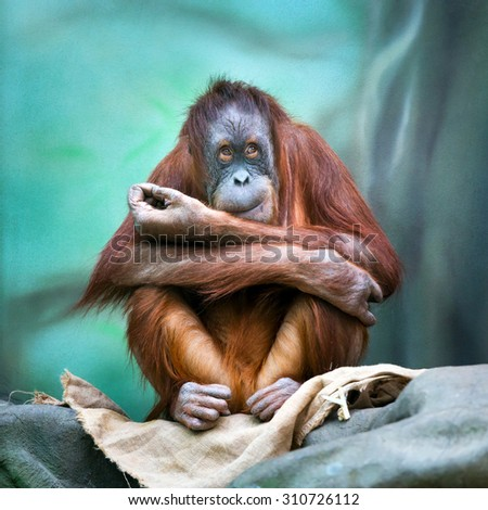 Female orangutan portrait in zoo. (Pongo pygmaeus) - stock photo