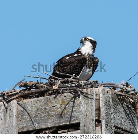 Female Osprey Sitting on the Nest on Blue Sky - stock photo
