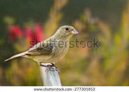 Female Painted Bunting  - stock photo