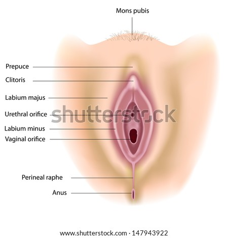 Womans anatomy vulva