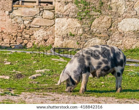 Female pig feeding with teats full of milk for the piglets. Crato, Alto Alentejo, Portugal. - stock photo