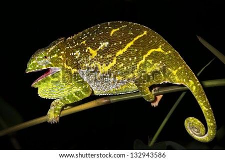 Female (pregnant) Canopy or Will's Chameleon (Furcifer willsii) on a branch in the wilds of Madagascar (Rain Forest of Ranomafana). Incredible vibrant colors at night while sleeping. Foliage, tree. - stock photo