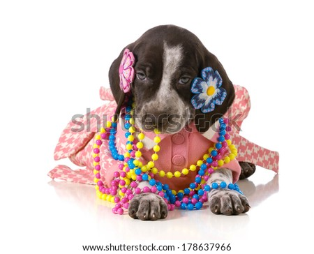 female puppy - german shorthaired pointer puppy dressed up like a girl isolated on white background - stock photo