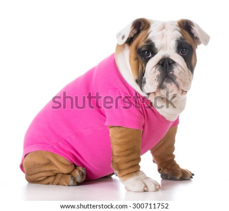 female puppy wearing pink sweater - bulldog - stock photo