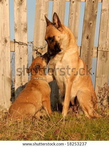 female purebred belgian shepherd malinois and her puppy - stock photo
