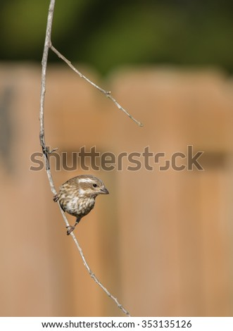 Female Purple Finch on perch
