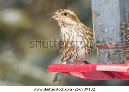 Female Purple Finch perched looking out from a bird feeder. - stock photo