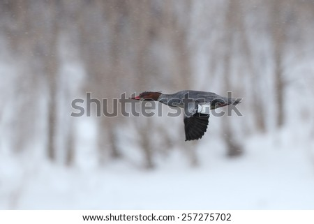 Female Red-breasted Merganser (Mergus serrator) in Flight on a Snowy Day - stock photo