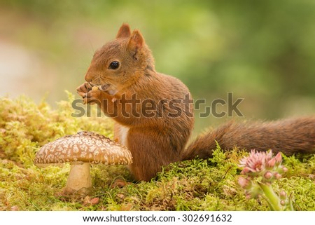 female red squirrel standing behind a mushroom