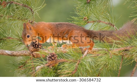 female red squirrel standing on pine branch with pinecone - stock photo