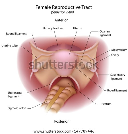 Female reproductive organs, superior view  - stock photo