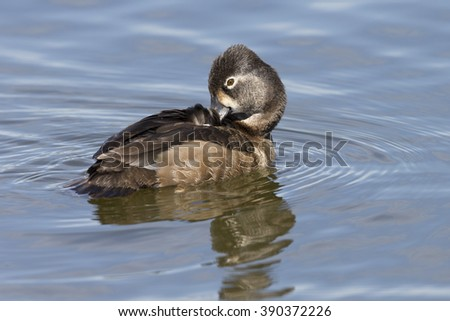 Female Ring-necked Duck swimming on lake - stock photo