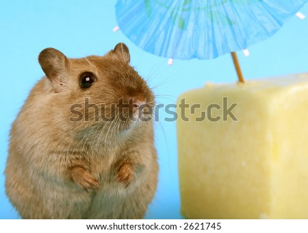 female rodent relaxing under summer umbrella with cheese - stock photo