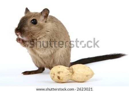 female rodent with monkey nut peanut isolated on white - stock photo