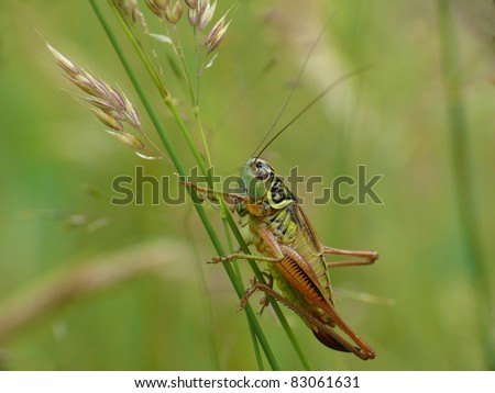 Female Roesel's bush cricket on a gras