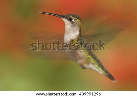 Female Ruby-throated Hummingbird (archilochus colubris) in flight with a colorful background - stock photo