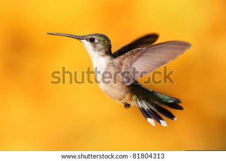 Female Ruby-throated Hummingbird (archilochus colubris) in flight with a colorful background of out of focus Sunflowers - stock photo