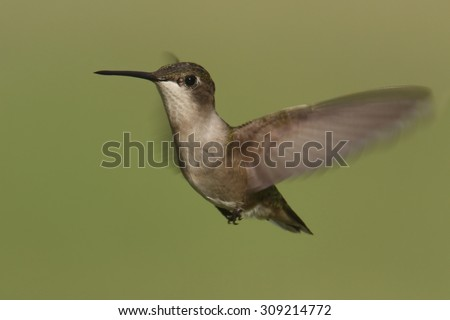 Female Ruby-throated Hummingbird (archilochus colubris) in flight with a green background - stock photo