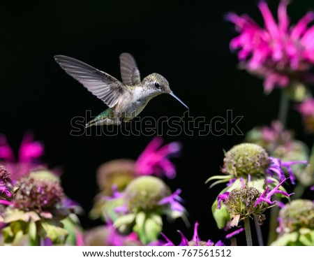 Female Ruby-throated Hummingbird Drinking Nectar from Red Bee Balm Flower