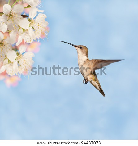 Female Ruby-throated Hummingbird getting ready to feed on spring flowers - stock photo