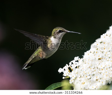 Female Ruby-throated Hummingbird on Green Background - stock photo