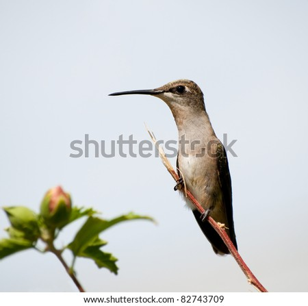 Female Ruby-throated Hummingbird perched on a twig against cloudy sky - stock photo