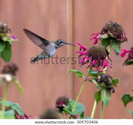 Female Ruby-throated Hummingbird sipping nectar from the pink flower - stock photo