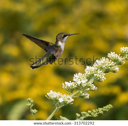 Female Ruby-throated Hummingbird sipping nectar from the white flower on yellow background - stock photo