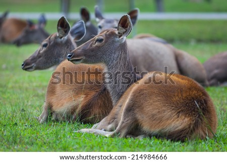 Female Sambar deer(Rusa unicolor ) relax on the ground in nature at Khaoyai national park, Thailand  - stock photo