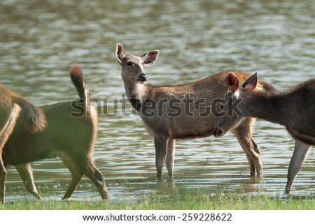 Female Sambar deer(Rusa unicolor ) relax on the ground in nature, Thailand - stock photo