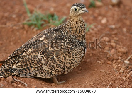 Female Sand Grouse in Red Volcanic Soil in East Africa