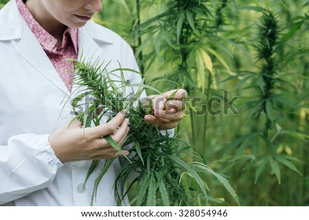 Female scientist in a hemp field checking plants and flowers, alternative herbal medicine concept - stock photo