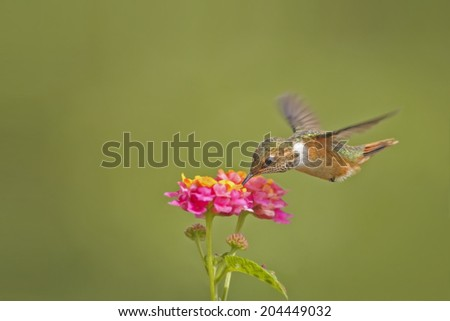 Female scintillant hummingbird feeding from colorful flowers in Costa Rica. - stock photo
