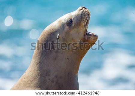 female sea lion seal on Patagonia beach while roaring - stock photo