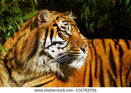 Female Siberian Tiger in a natural environment - stock photo