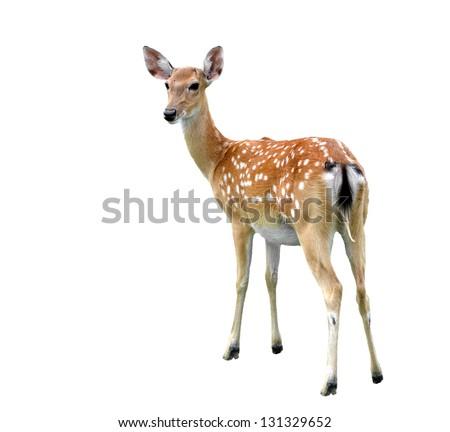 female sika deer isolated on white background - stock photo