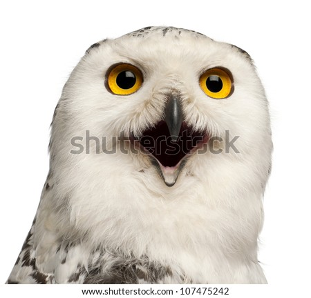Female Snowy Owl, Bubo scandiacus, 1 year old, portrait and close up against white background - stock photo