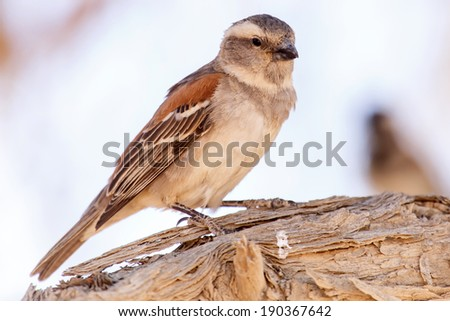 Female Sociable Weaver Bird at Sossusvlei in the Namib Desert, Namibia, Africa - stock photo