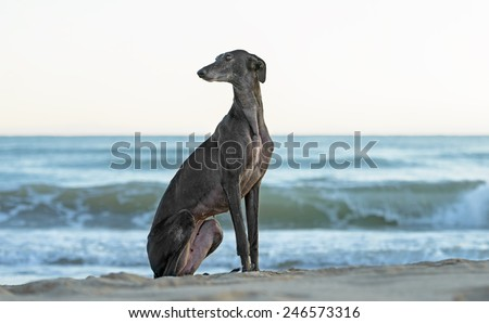 Female Spanish Greyhound dog poses outdoors at the beach
