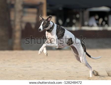 Female Spanish greyhound is running - stock photo