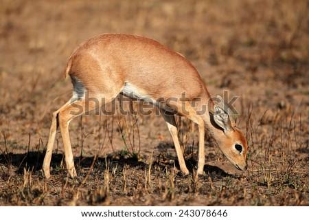 Female steenbok antelope (Raphicerus campestris), South Africa - stock photo