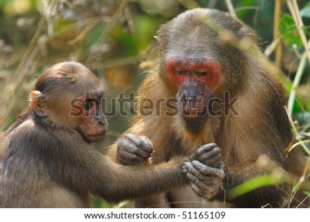 Female Stump-tailed Macaque grooming a youngster in Thailand - stock photo