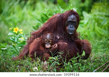 Female the orangutan with the kid on a grass./ Indonesia.Borneo.