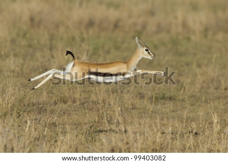 Female Thompson's gazelle running (Eudorcas thomsonii) Tanzania's Serengeti - stock photo